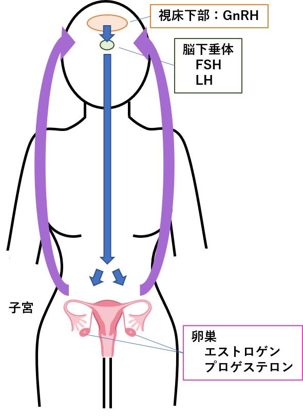 月経(生理)の仕組みと女性ホルモン